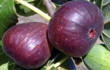 آغاز برداشت میوه بهشتی انجیر از باغهای گیلان